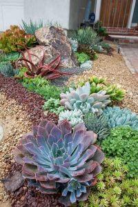 sziklakerti növény a kövirózsa