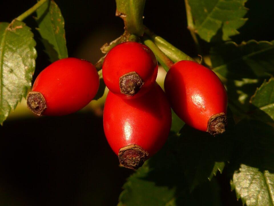 Vadrózsa termés- csipkebogyó