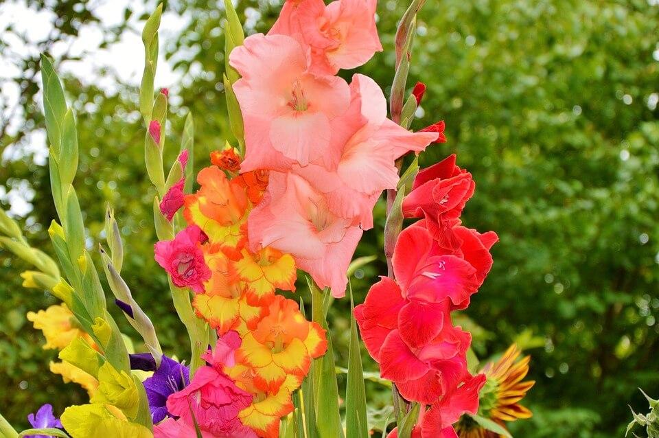 Nyári virágok - Kardvirág