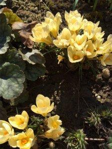 Itt a tavasz, vár a kert és a krókusz