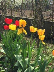 Lassan elnyílnak a tulipánok
