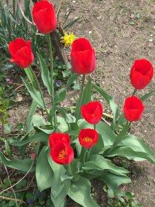 Tavaszi kertészkedés, nyílik a tulipán