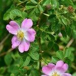 Vadrózsa (Rosa canina), téli C- vitamin forrásaink egyike