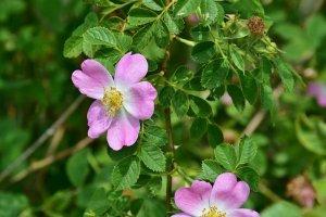 Vadrózsa virága