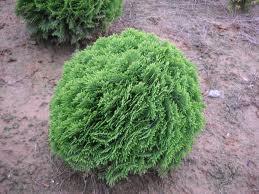 sziklakerti növény,gömb alakú tuja