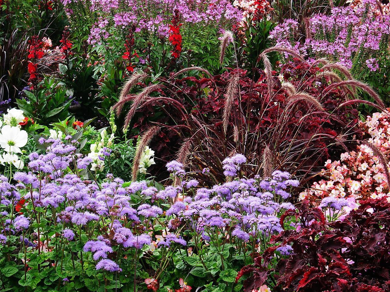Alacsony egynyári virágok: lángvirág