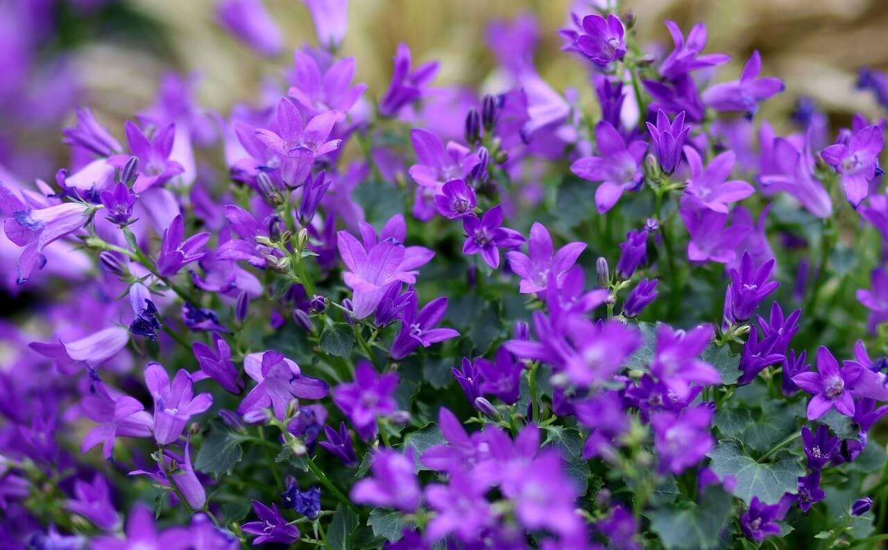 Alacsony egynyári virágok: lobélia