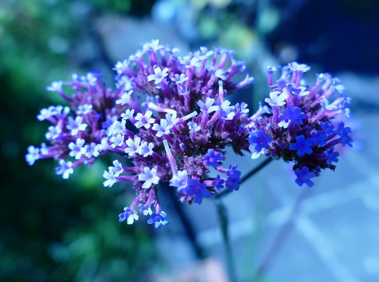 Alacsony egynyári virágok: vasfű