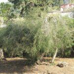 Teafa gyógynövény (Melaleuca alternifolia)