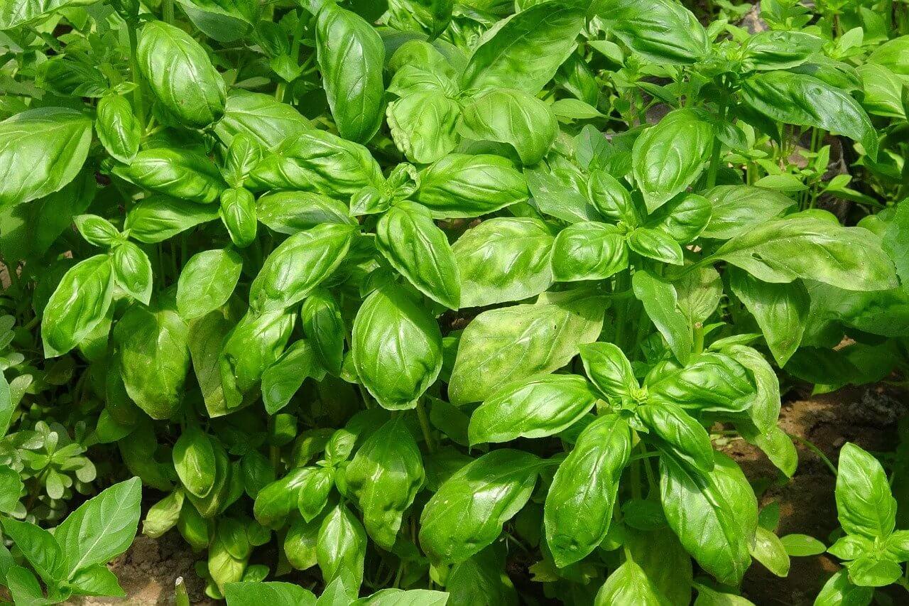 Bazsalikom termesztése a kertben