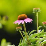Bíbor kasvirág (Echinacea purpurea) az egyik legjobb immunerősítő
