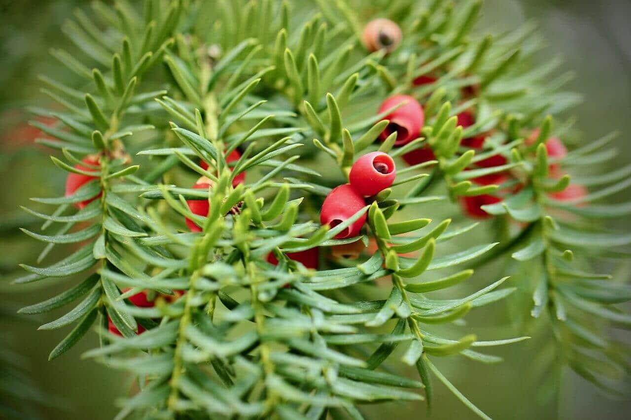 Bogyó termésű növények, tiszafa