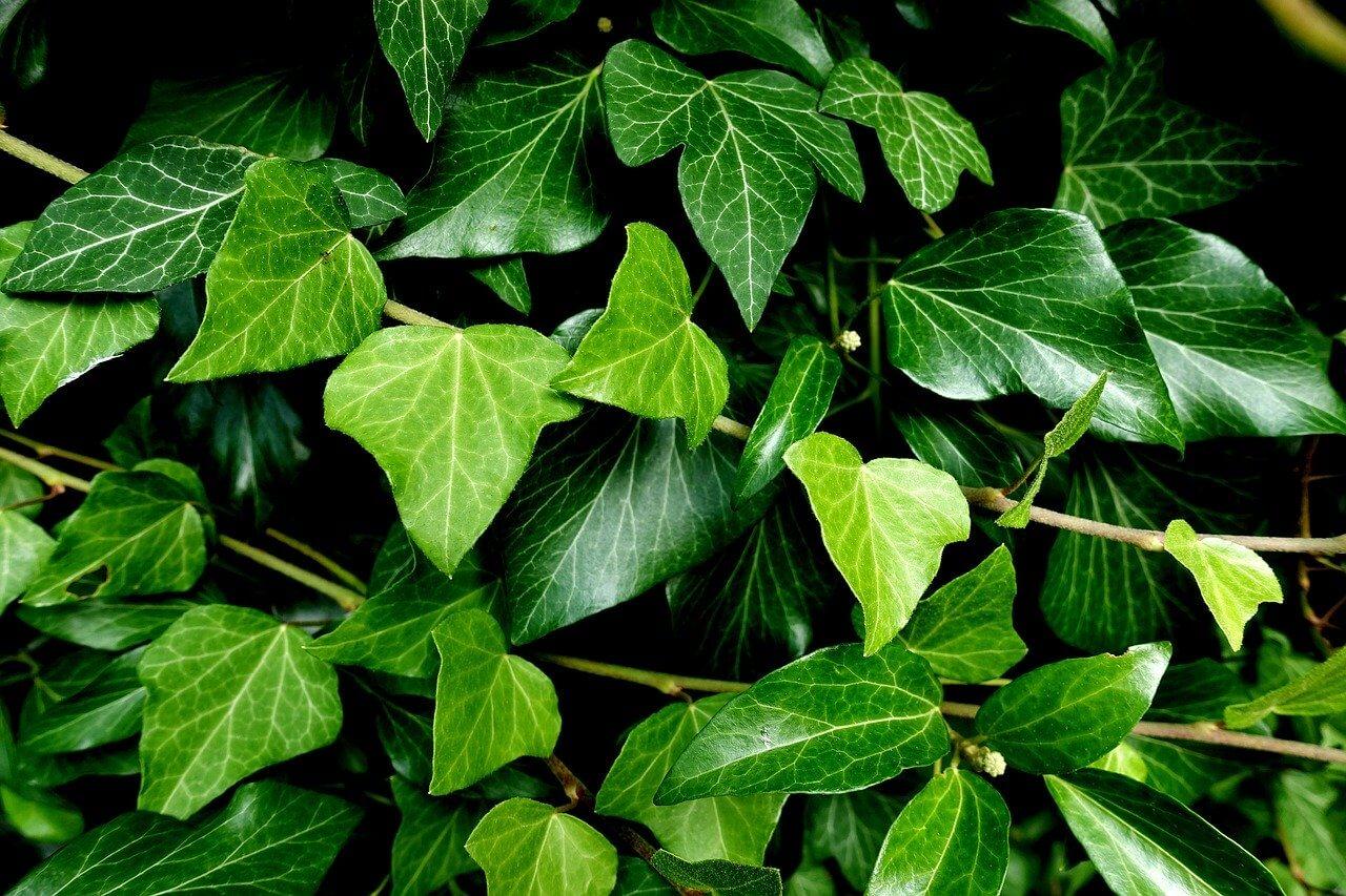 Borostyán, a kétarcú futónövény