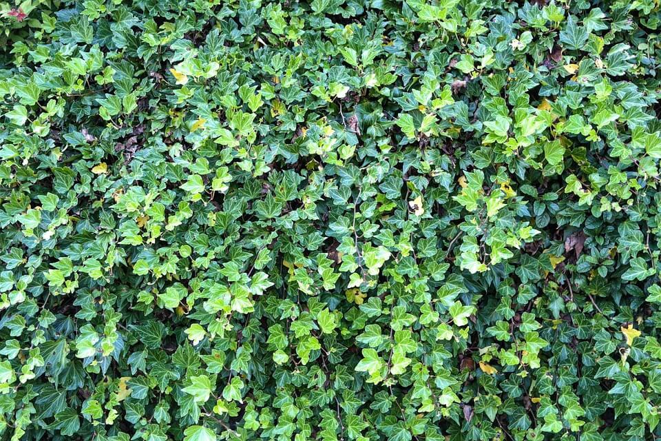 Élő kerítések - borostyán