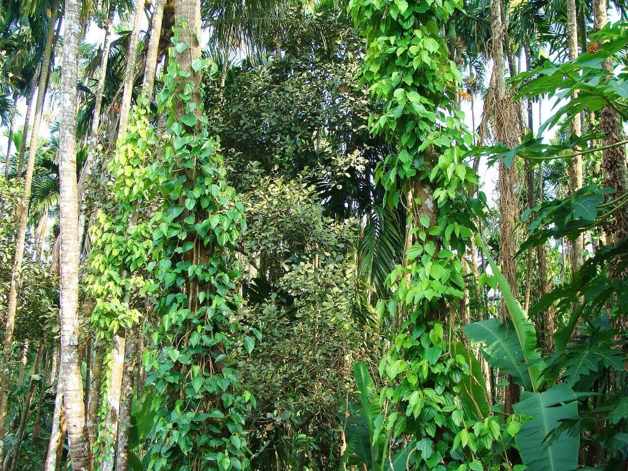 Fekete bors (Piper nigrum)