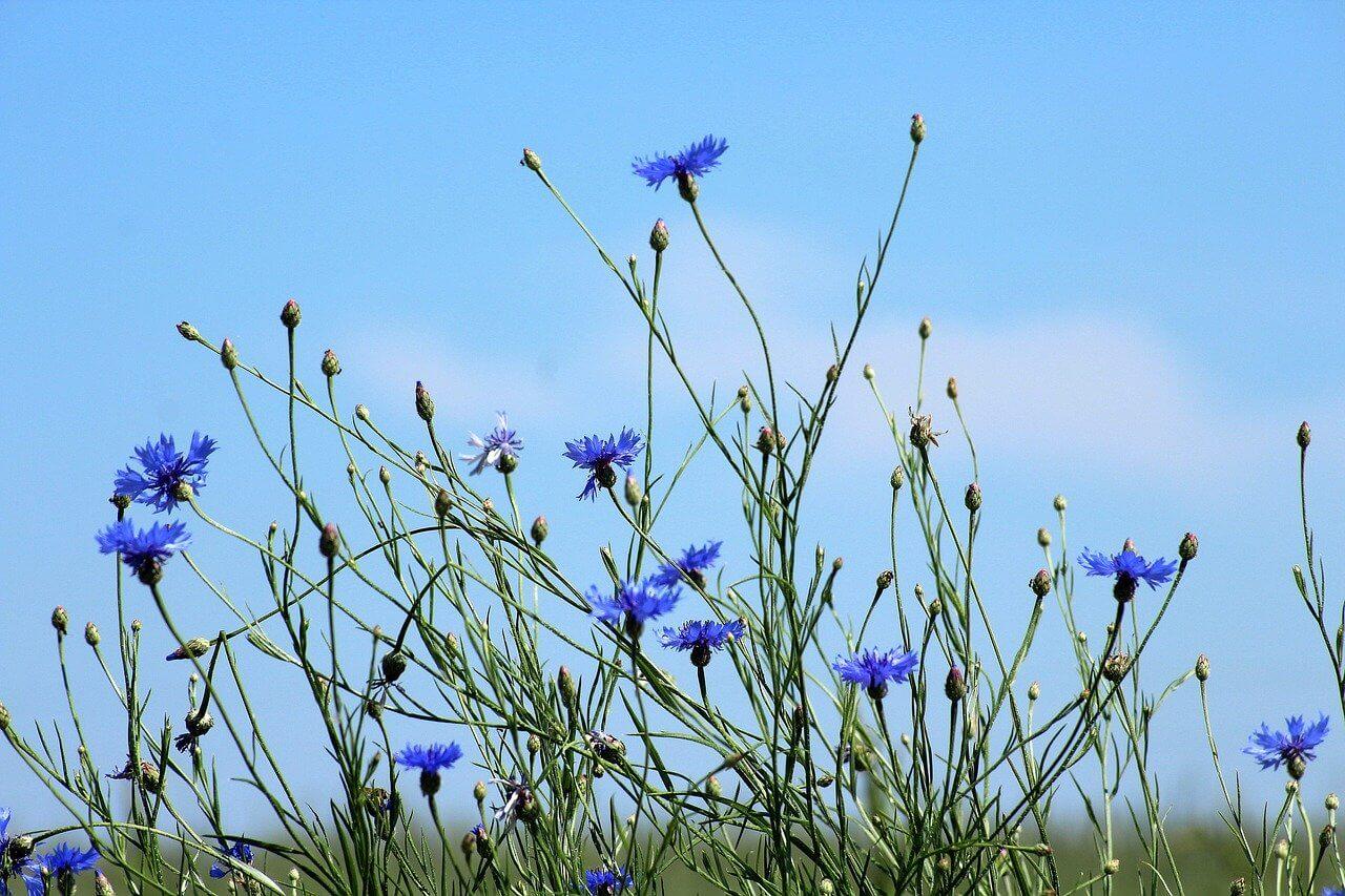 Nem is mindig gaz gazok – amelyek dekoratívak: Búzavirág