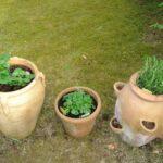 Citromfű (Melissa officinalis), az illatos gyógynövény