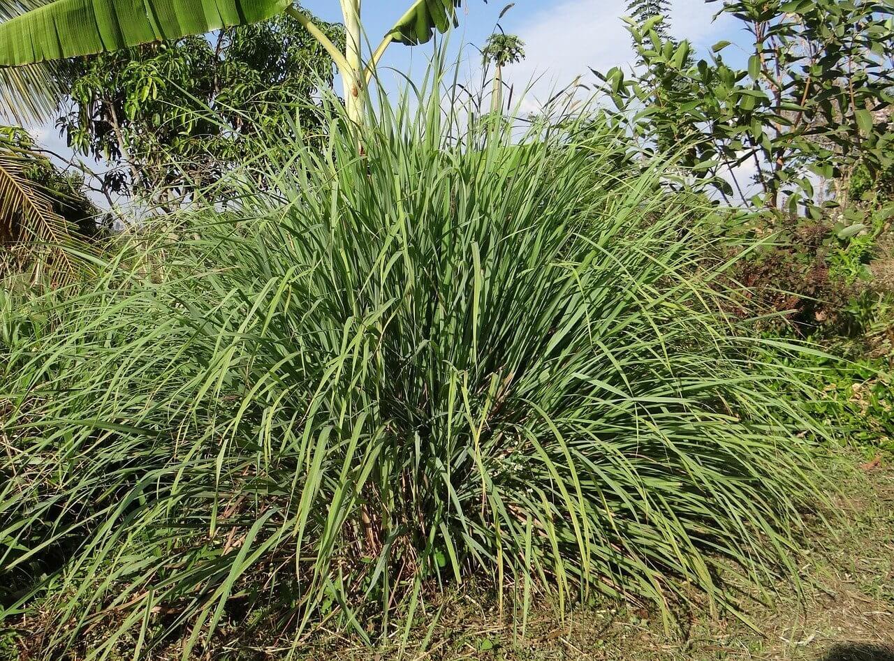 Illatos növények a kertben: Citromfű
