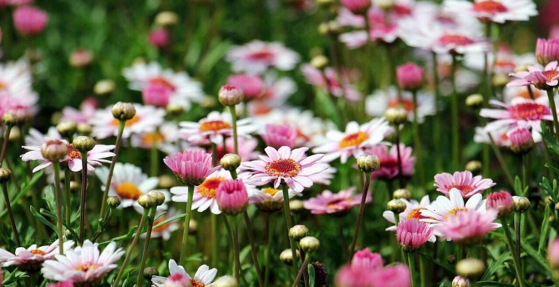 Bokrosodó virágok: cserjés margaréta