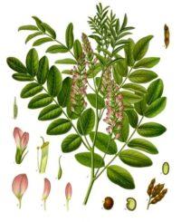Édesgyökér gyógynövény (Glycyrrhiza glabra)