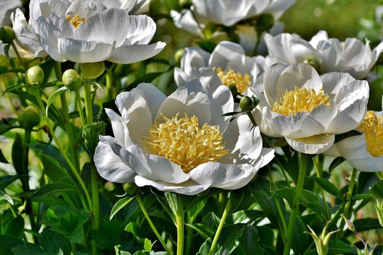 Félárnyékot kedvelő növények: bazsarózsa