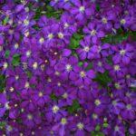 Futó virág teraszra: miért jó, és mire figyeljünk?