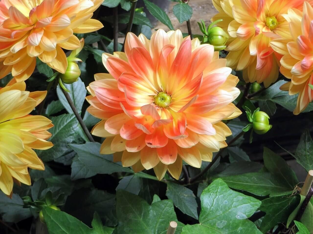 Kerti munkák májusban: Gumós virágok