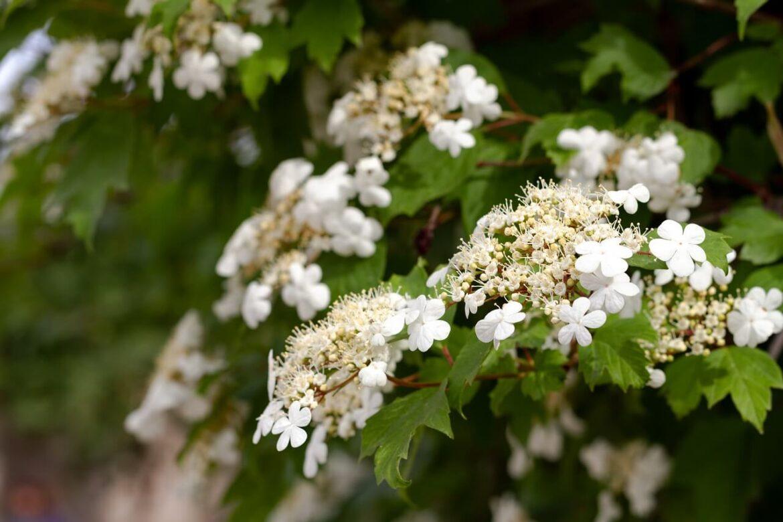 Gyorsan növő növények: Labdarózsa