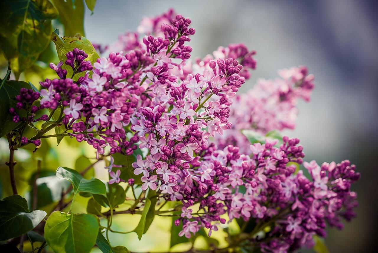 Gyorsan növő növények: Orgona