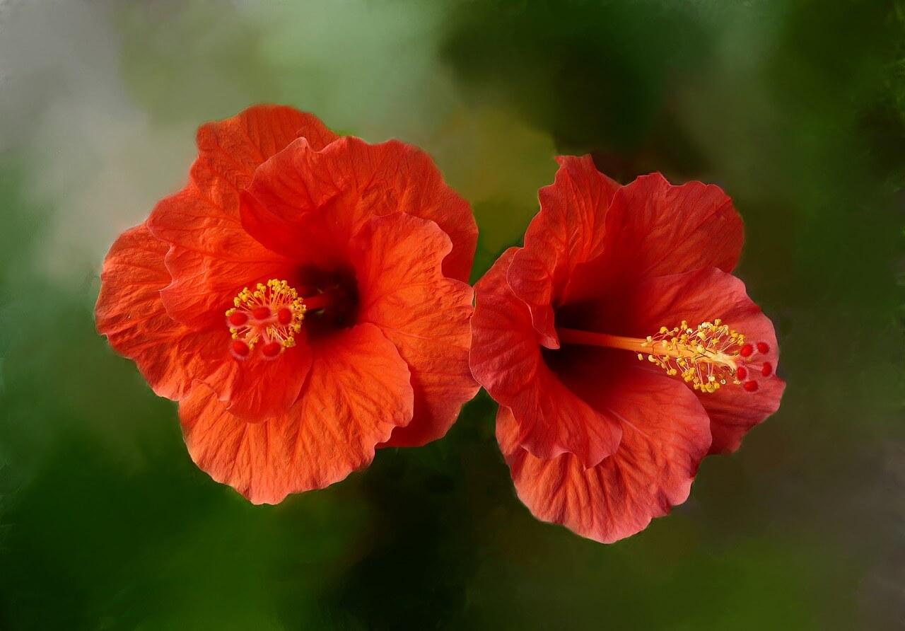 Hibiszkusz, a természetes gyógynövény