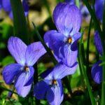 Illatos Ibolya (Viola odorata) a szolid külsejű gyógynövény