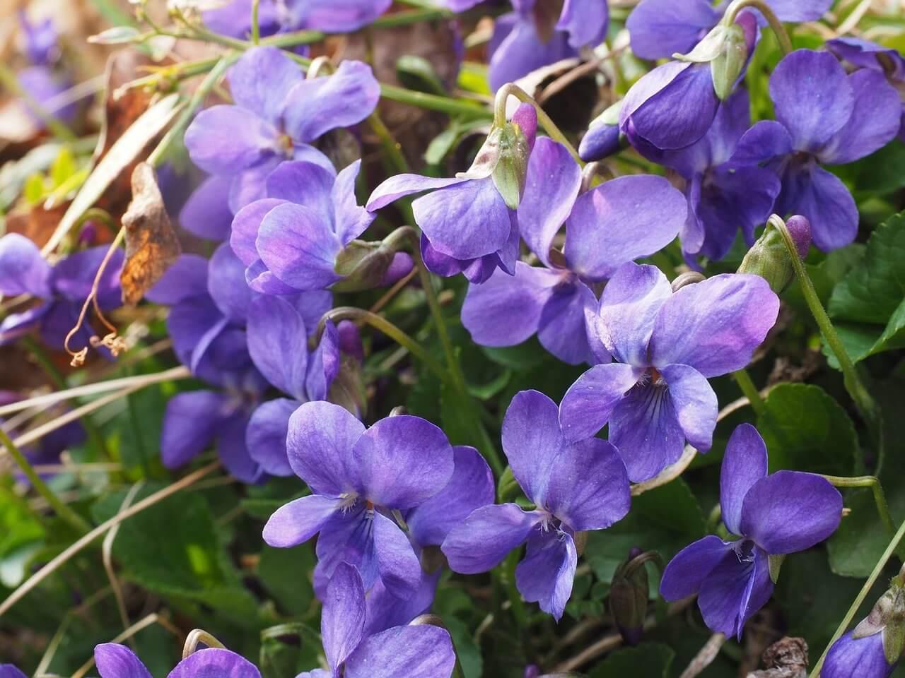 Ibolya (Viola odorata)