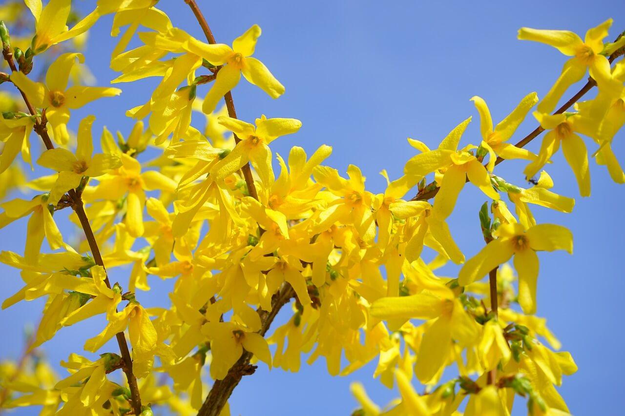 Igénytelen virágok: aranycserje