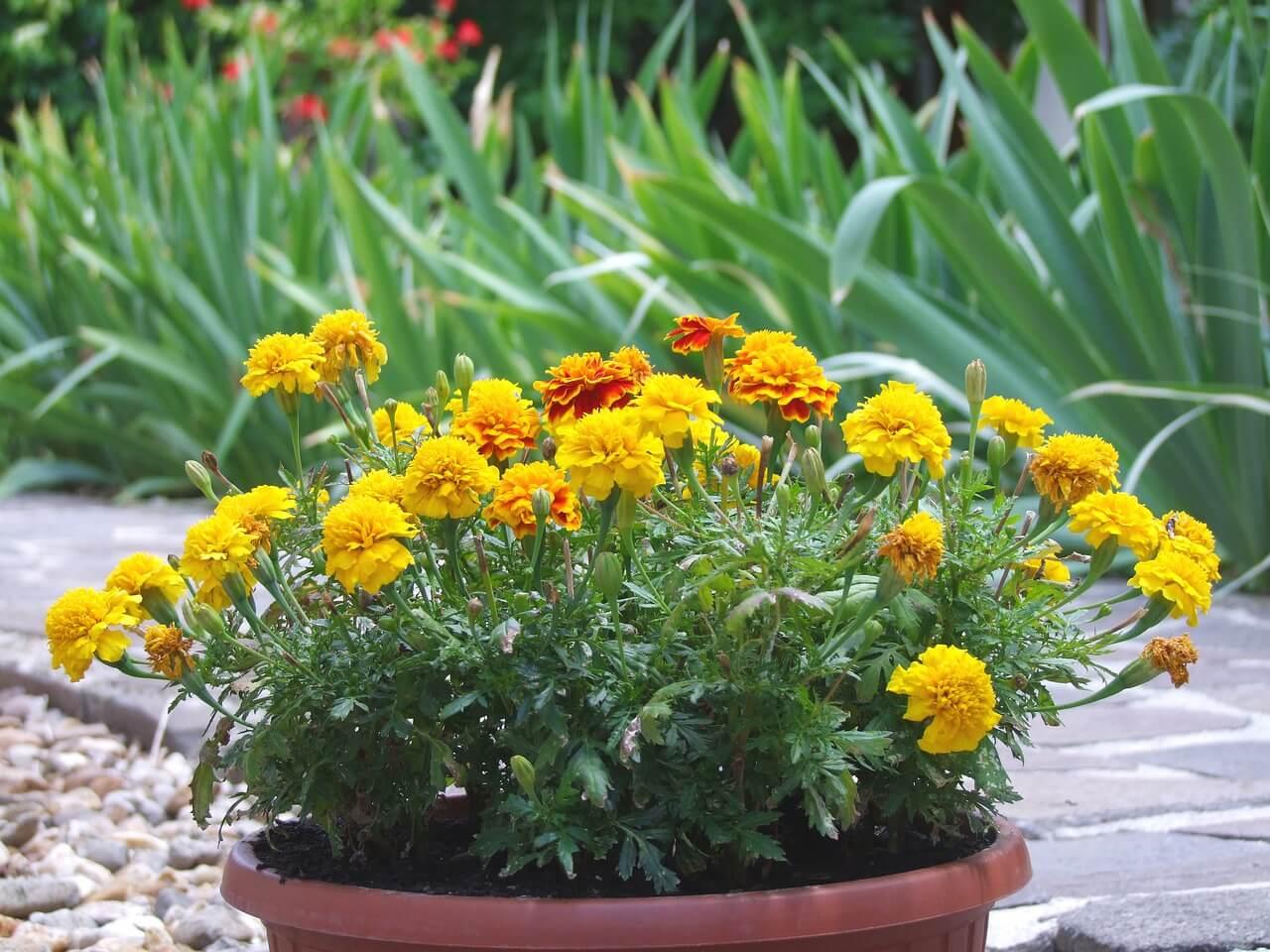 Igénytelen virágok: Büdöske