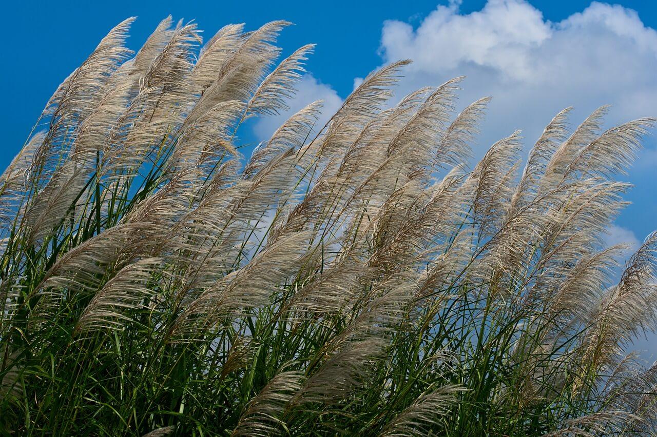 Napot szerető növények: Japánfű