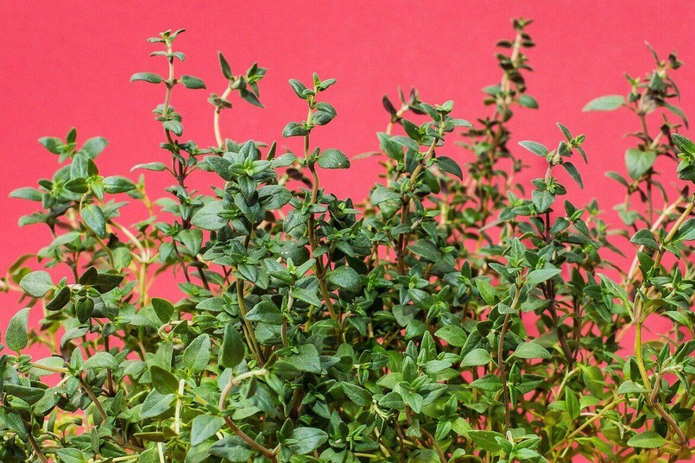 A kakukkfű (Thymus) évelő és népszerű fűszernövény