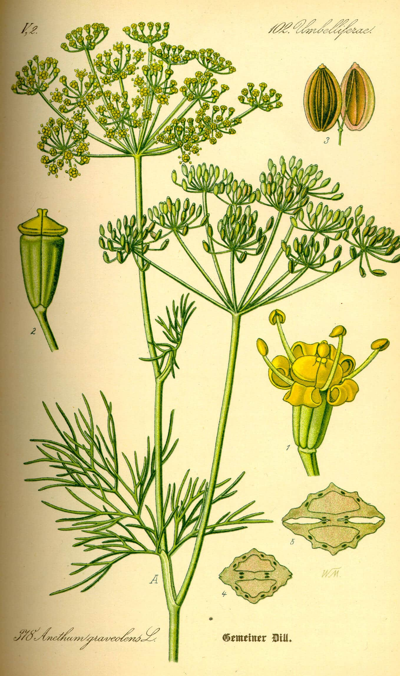 Kapor (Anethum graveolens L.)