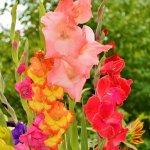 Nyári virágok a kertben – 7 dekoratív, szárazságtűrő növény