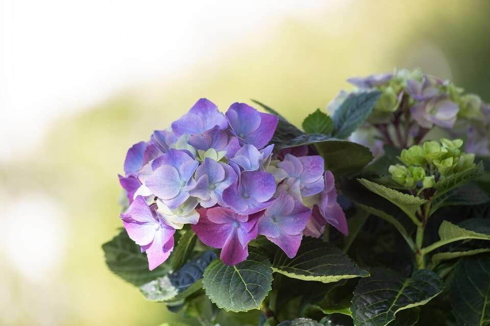 Kerti dísznövények, hortenzia