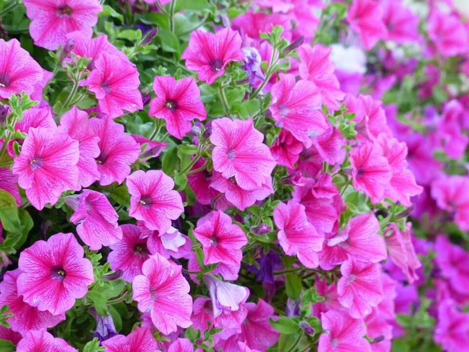 Kerti dísznövények, petúnia