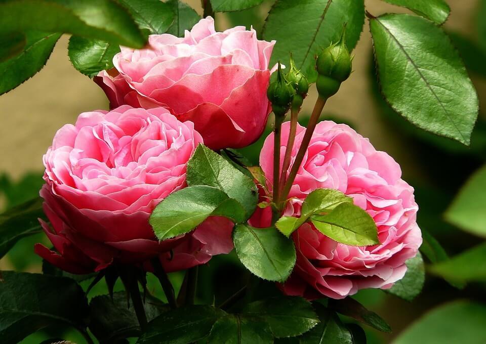 Kerti dísznövények, rózsa
