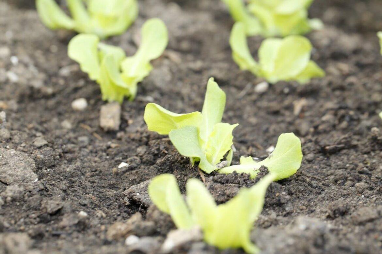 Kerti növények vetési ideje: saláta