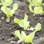 Kerti növények vetési ideje – mikor a virágokat, és mikor a zöldségeket?