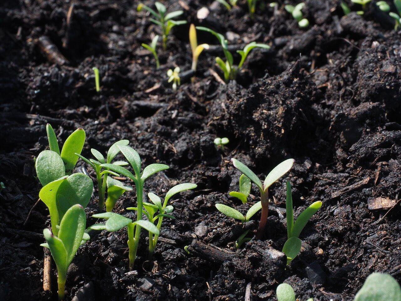 Kerti növények vetési ideje: virágpalánta
