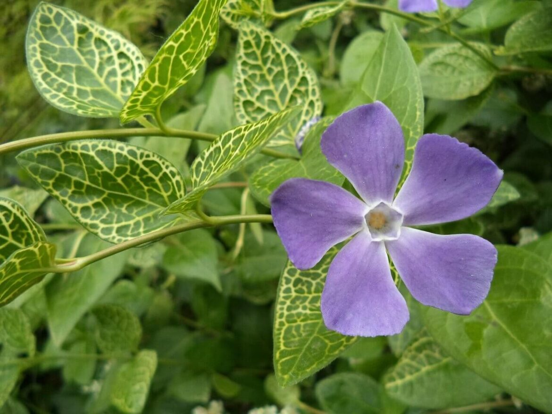 A kis meténg (Vinca minor )gyógyhatásai
