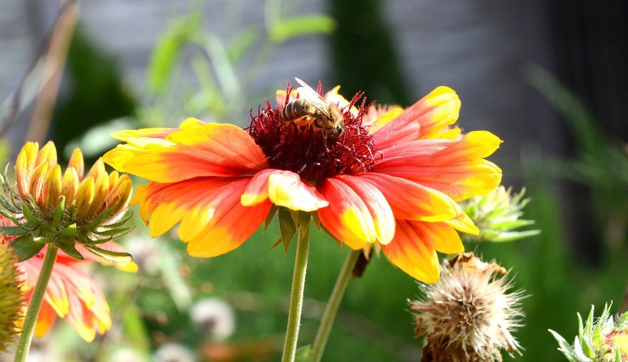 Napfényt kedvelő kerti virágok, kokárdavirág