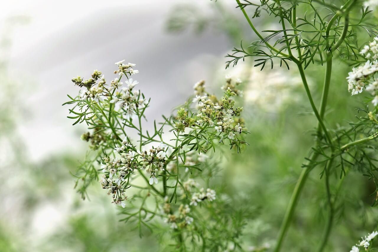 Koriander (Coriandrum sativum) virágzata