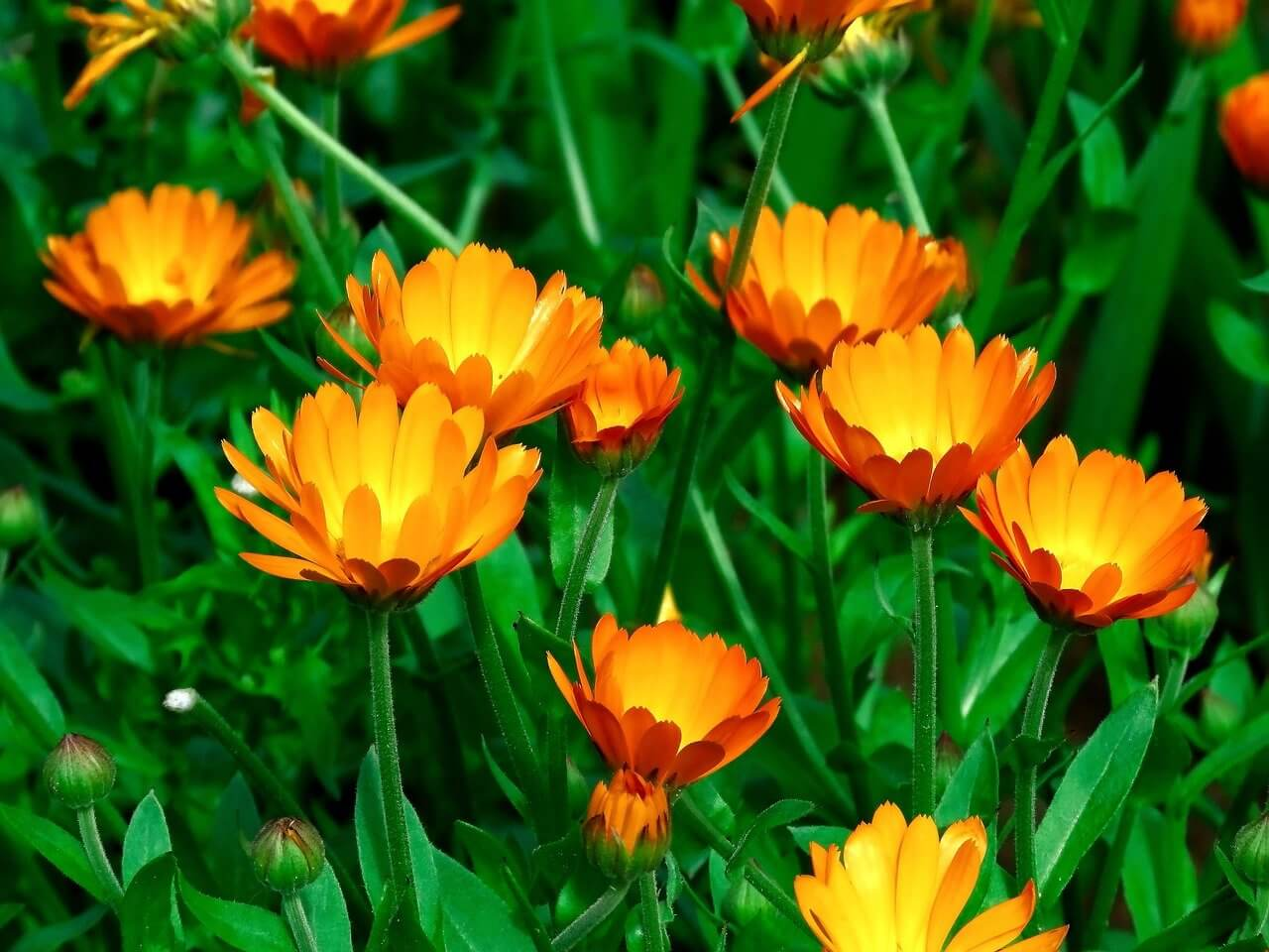 A körömvirág (Calendula officinalis) gyógynövény
