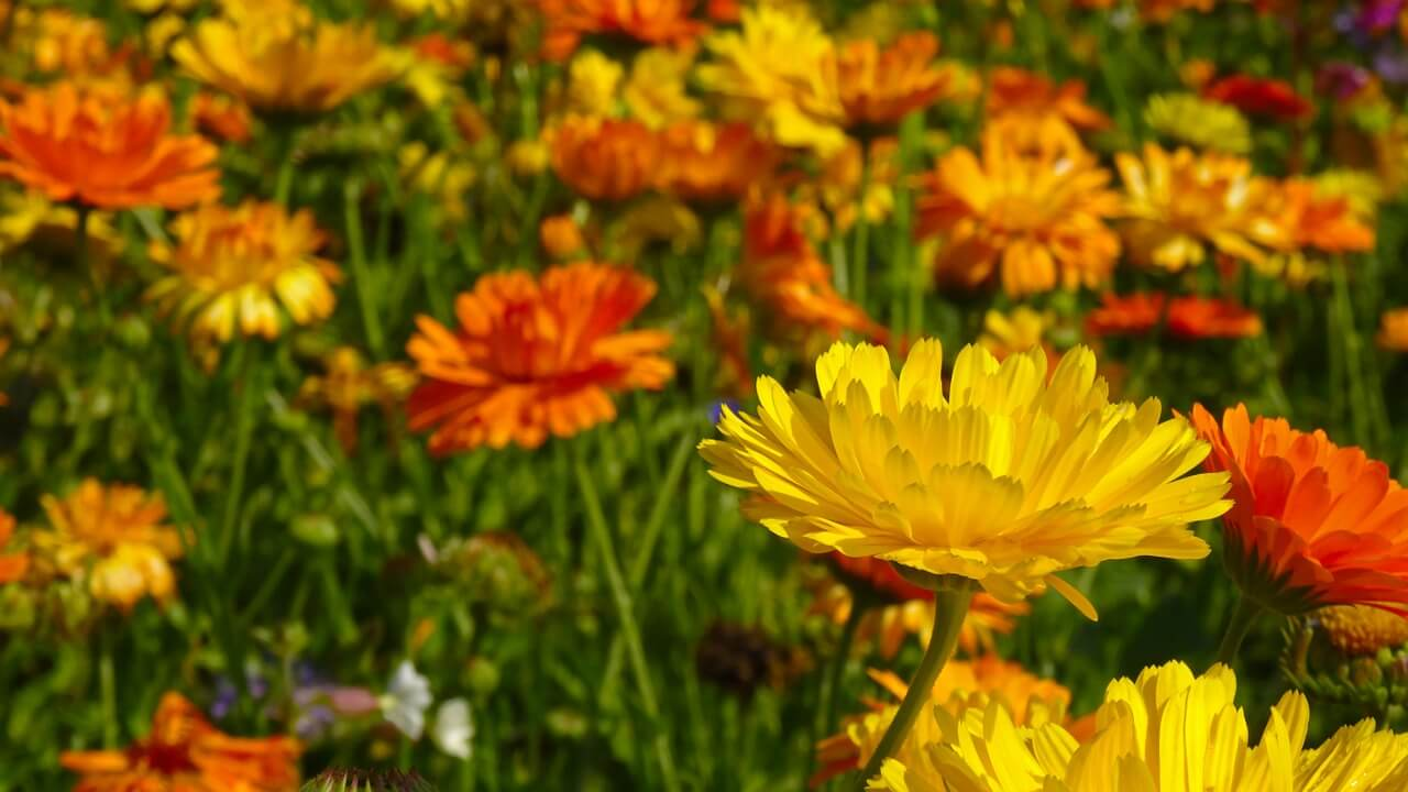 Szúnyogriasztó növények: körömvirág