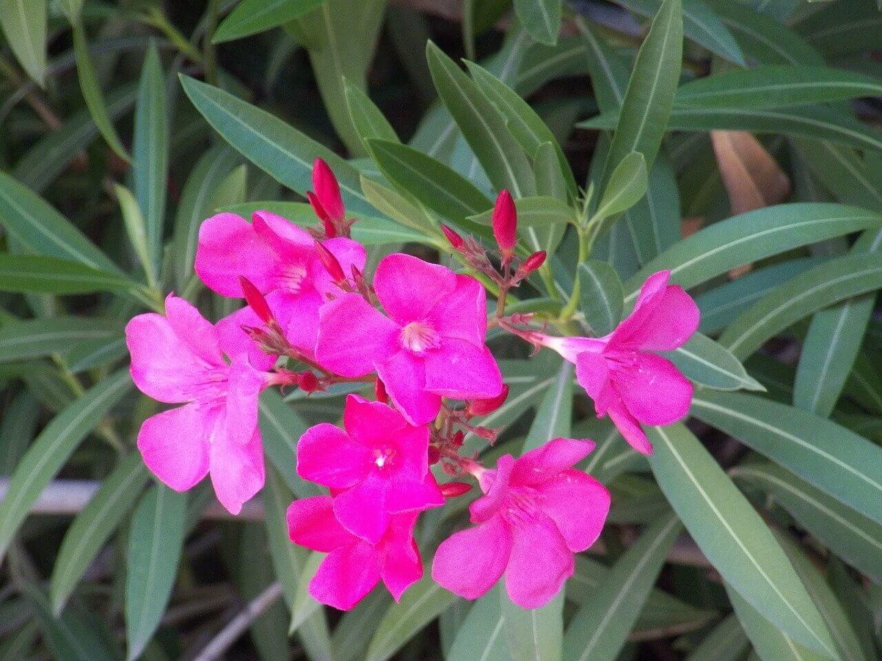 Leander tavaszi ültetése